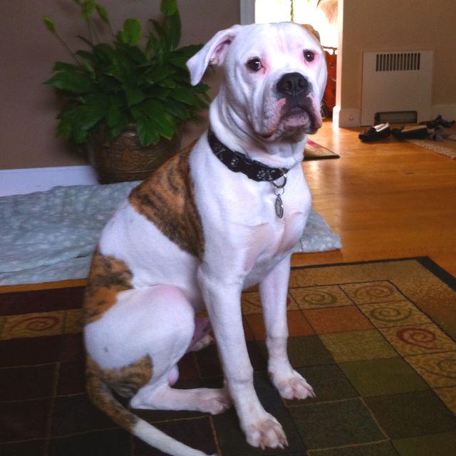 My American Bulldog Boris American Bulldog Dogs Bulldog
