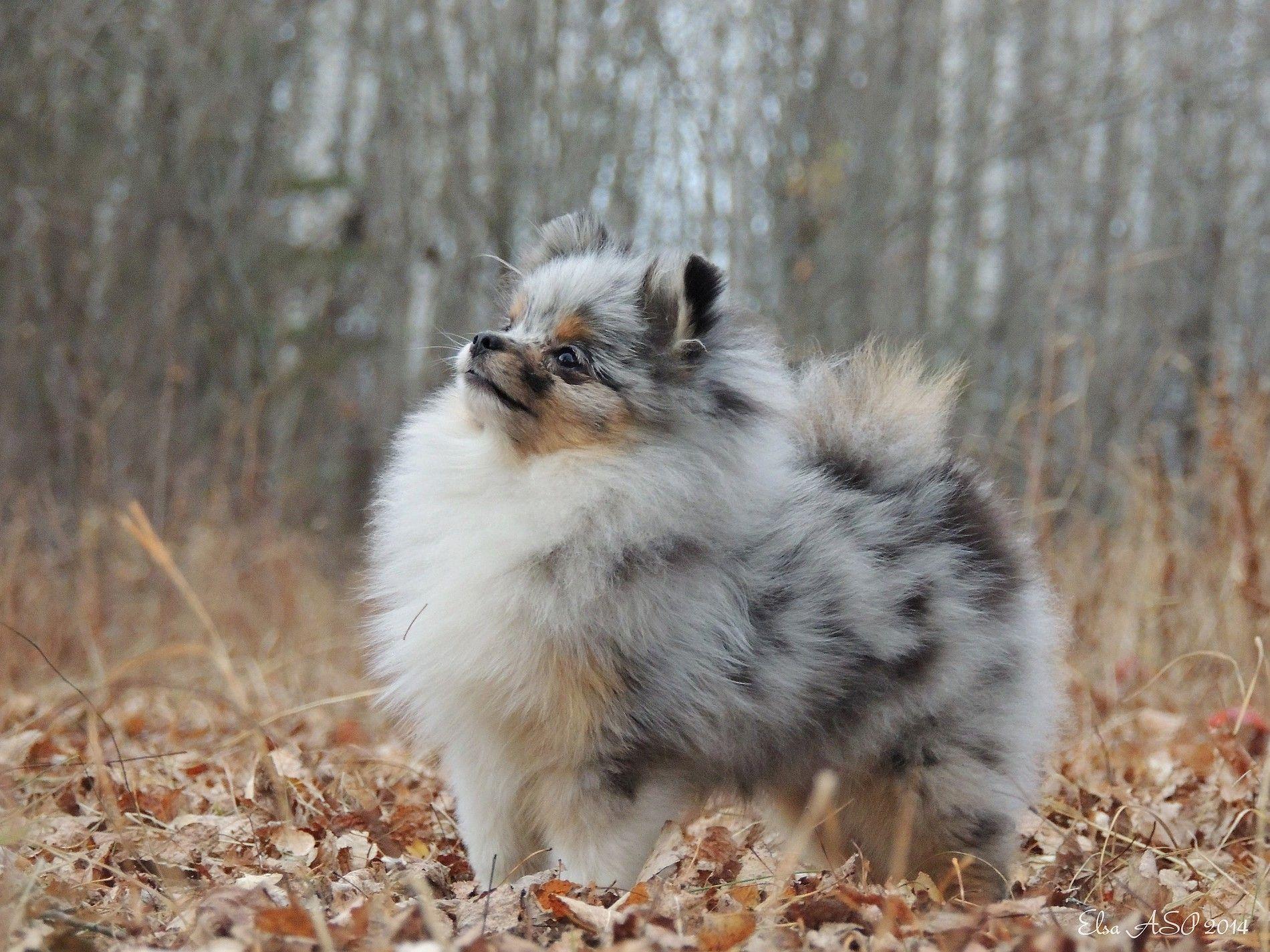 Secret Garden Pomeranian Animals, Pomeranian, Puppies