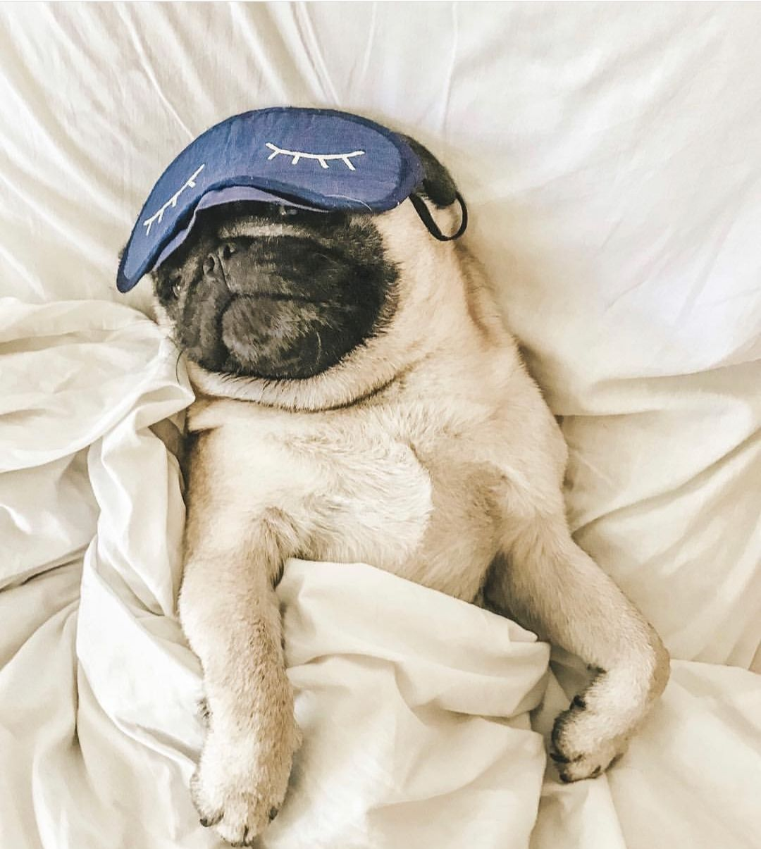 15 Pictures Of Pugs That Show They Re The Cutest Animals Ever