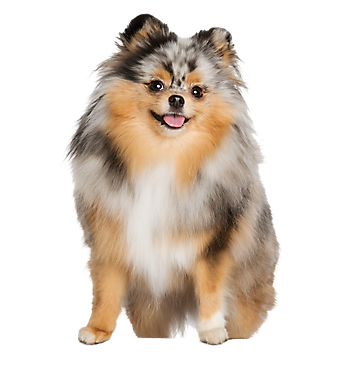Pomeranian Merle Tan And White From A Petsmart Ad Service Animal Pets Dogs And Puppies