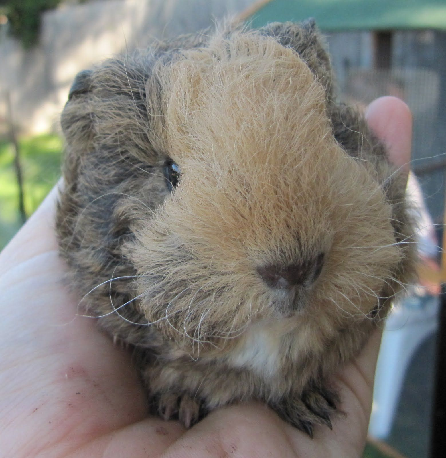 Do+Guinea+Pigs+Live+Outside | Liam | Cute rodents
