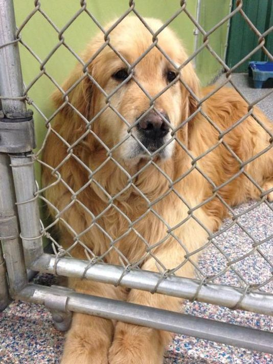 36 Abandoned Golden Retrievers Rescued From Turkey Golden