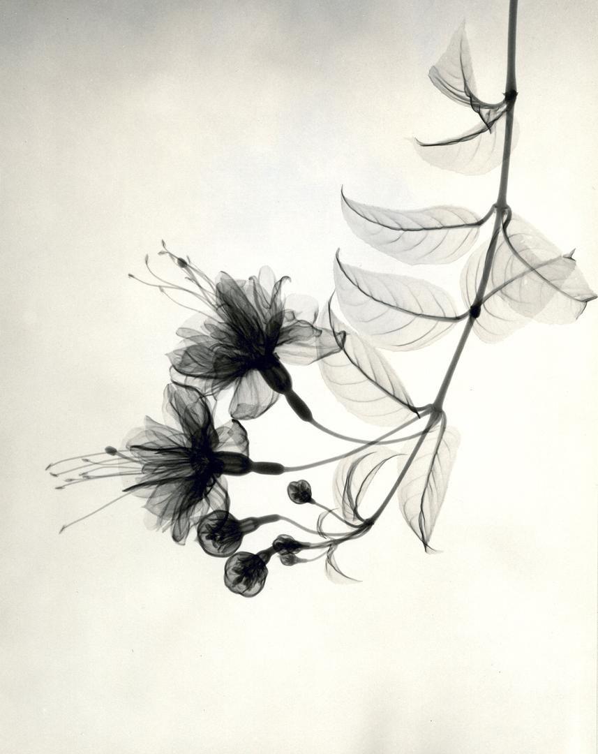 X Ray Flower Photographs From The 1930s Xray Art Art Xray Flower