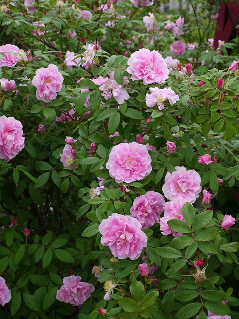 Rosa Therese Bugnet Landscaping With Roses Passion Roses Bugnet