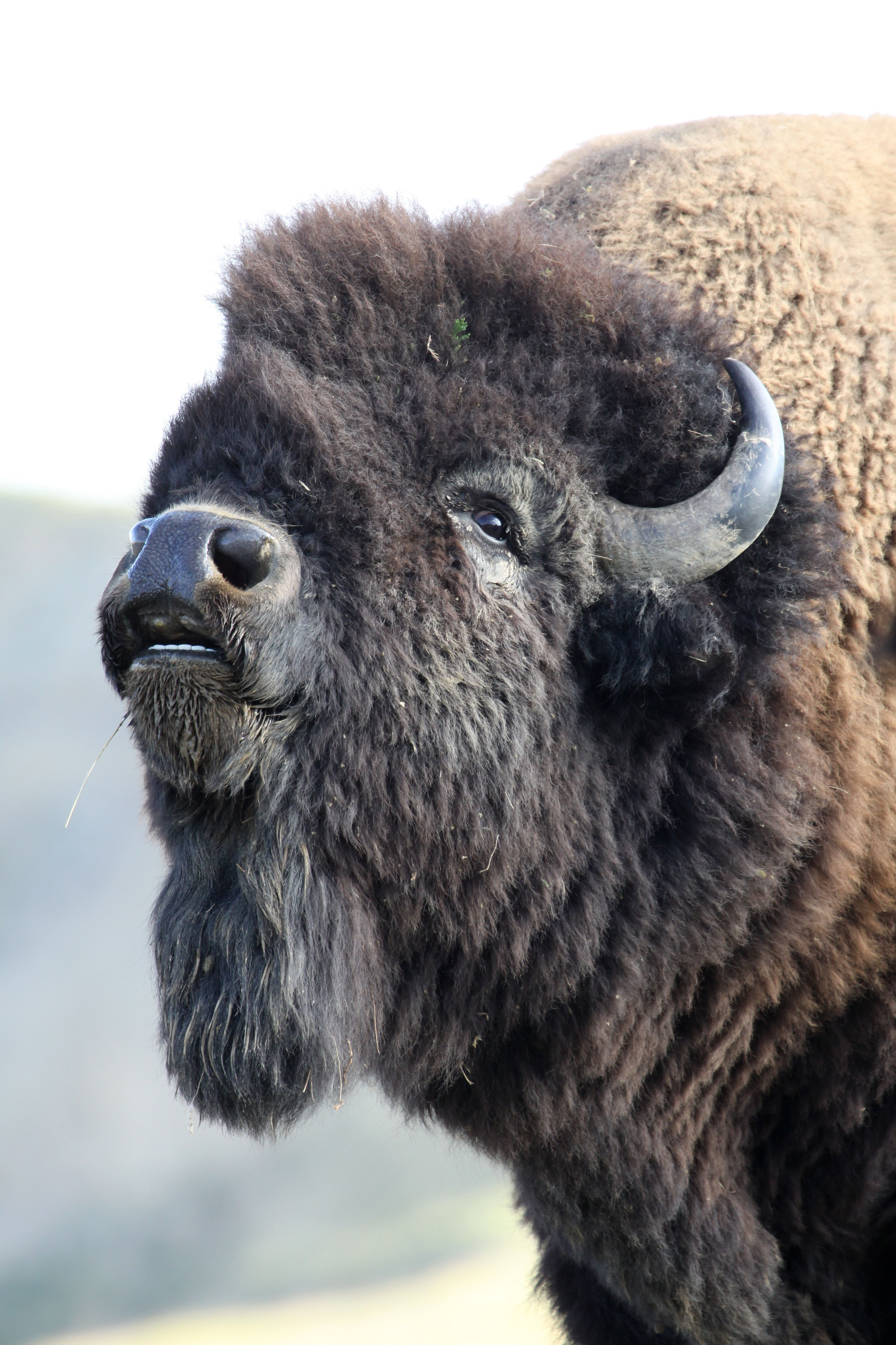 Buffalo from TR Park in ND Bison photo, North american