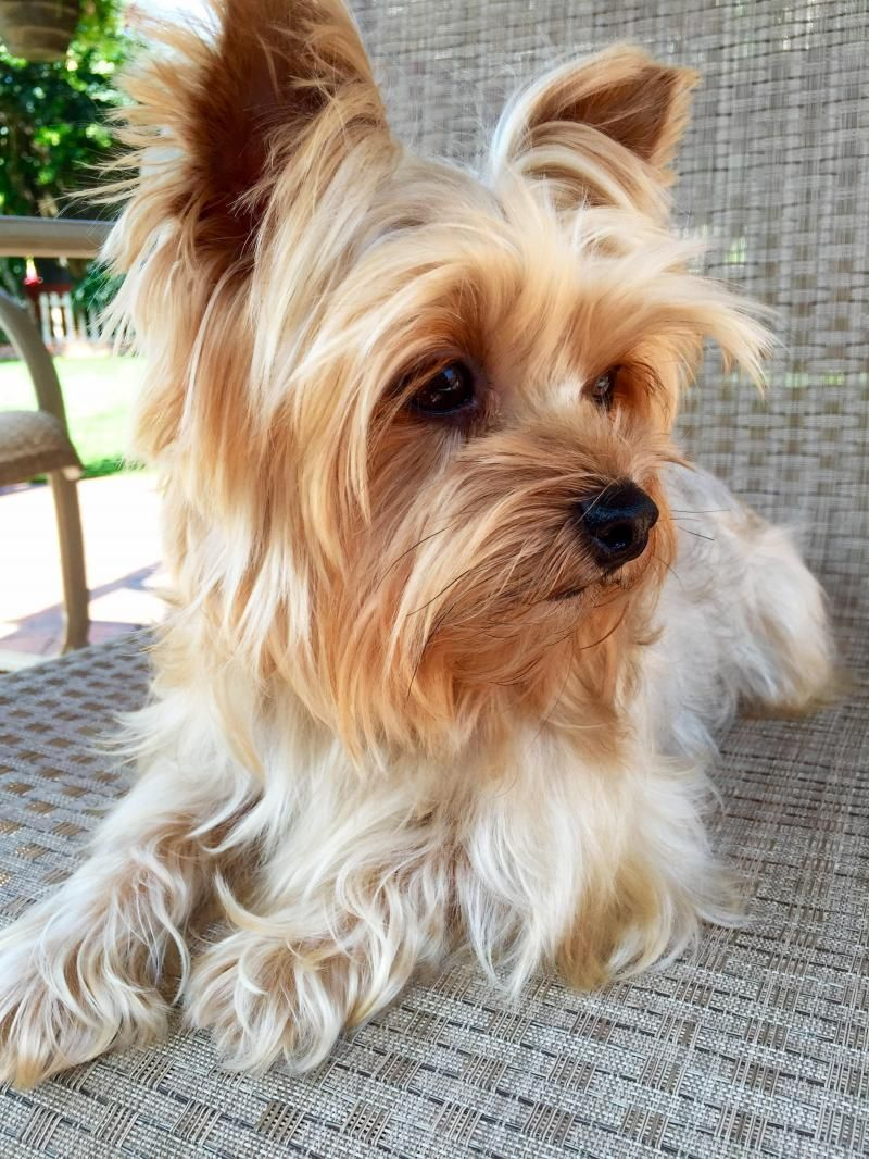 Adopt Miley On Yorkies Pinterest Yorkie Yorkshire Terrier And