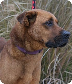 Baden Pa Great Dane Boxer Mix Meet Admiral A Dog For Adoption
