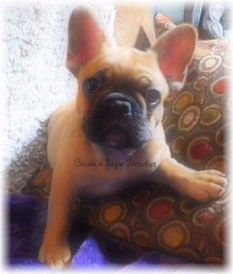 Red Fawn Male Cream Sugar Frenchies Puppies French Bulldog Pup