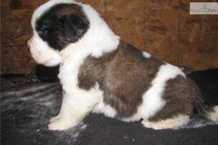 Saint Bernard St Bernard Puppy For Sale Jax Rough Coat Male
