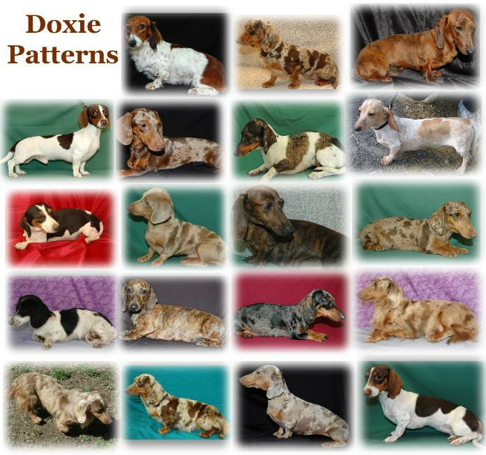 Dachshund Colors And Patterns Google Search With Images