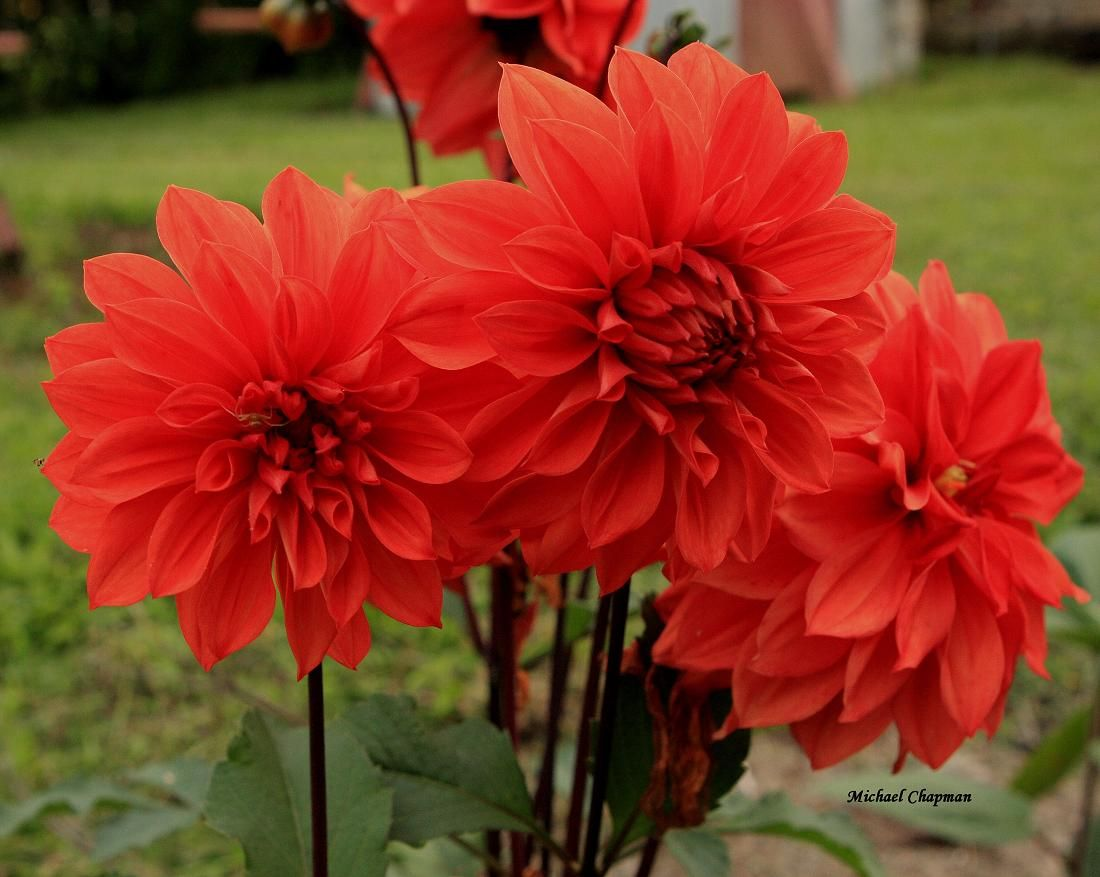23 best red flowers images on pinterest red flowers beautiful red flowers could be pretty in an arrangement dhlflorist Image collections