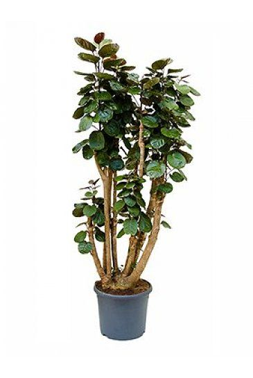 aralia fabian polyscias kamerplanten pinterest houseplants and gardens. Black Bedroom Furniture Sets. Home Design Ideas