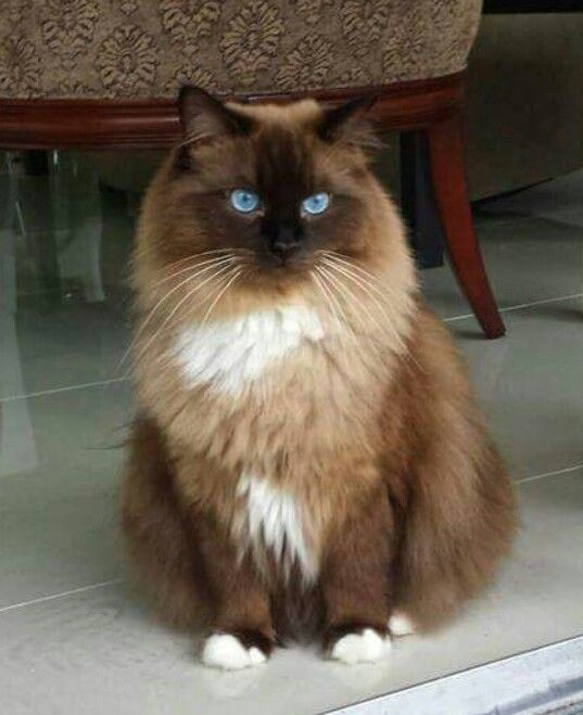 Gorgeous In Brown Tones Cute Cats And Kittens Beautiful Cats Ragdoll Cat