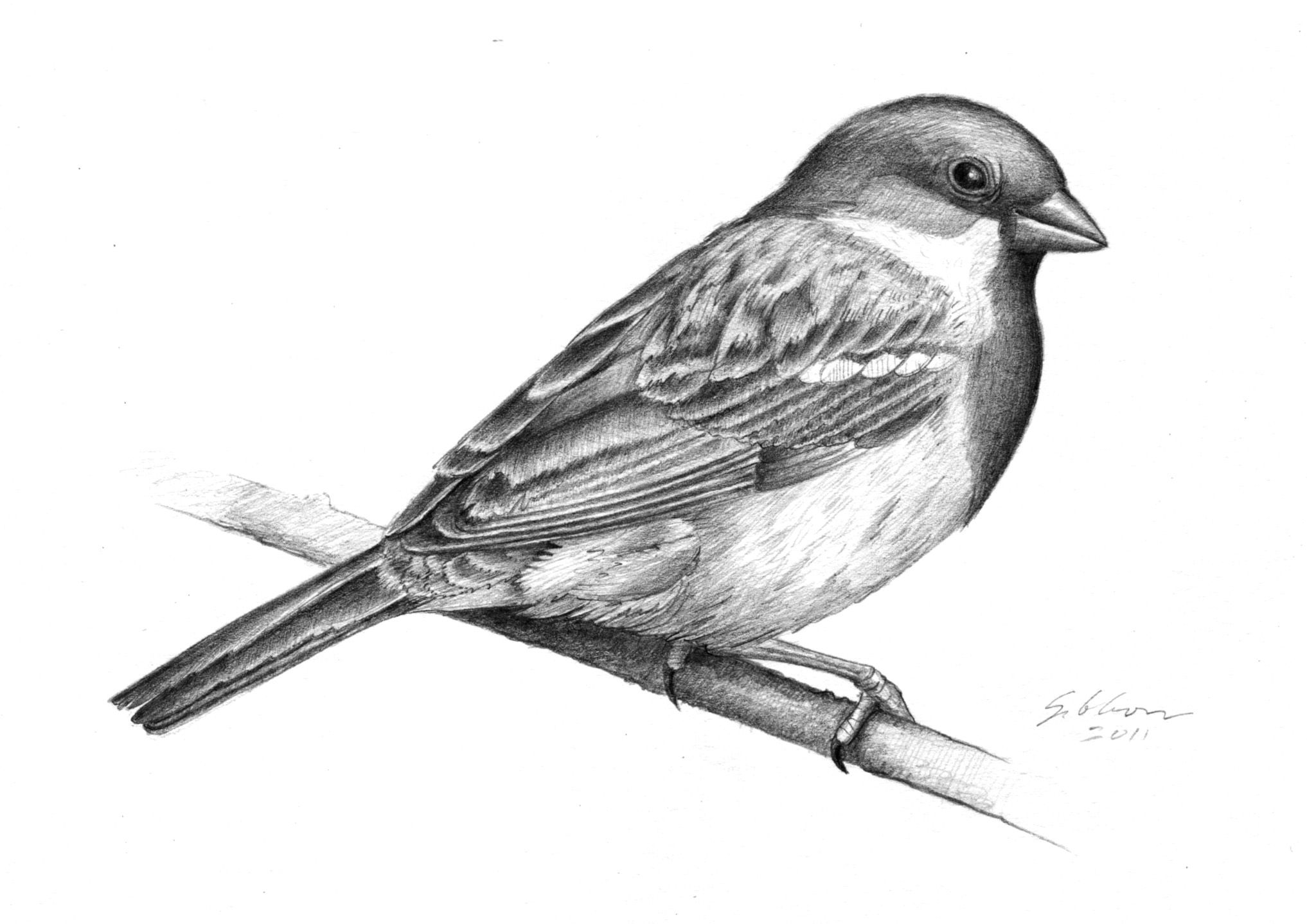 House Sparrow Sparrow Drawing Bird Drawings Drawings