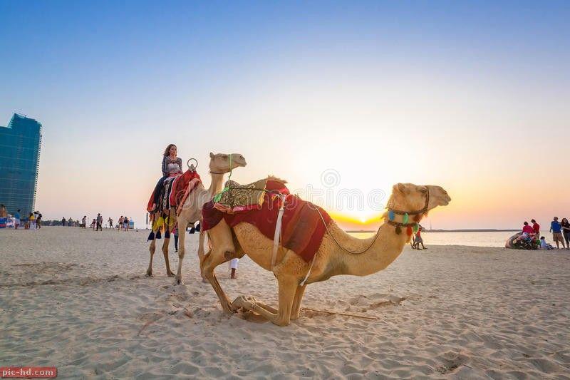 صور الجمل معلومات عن الجمل وماذا ياكل Travel Guide United Arab Emirates Emirates