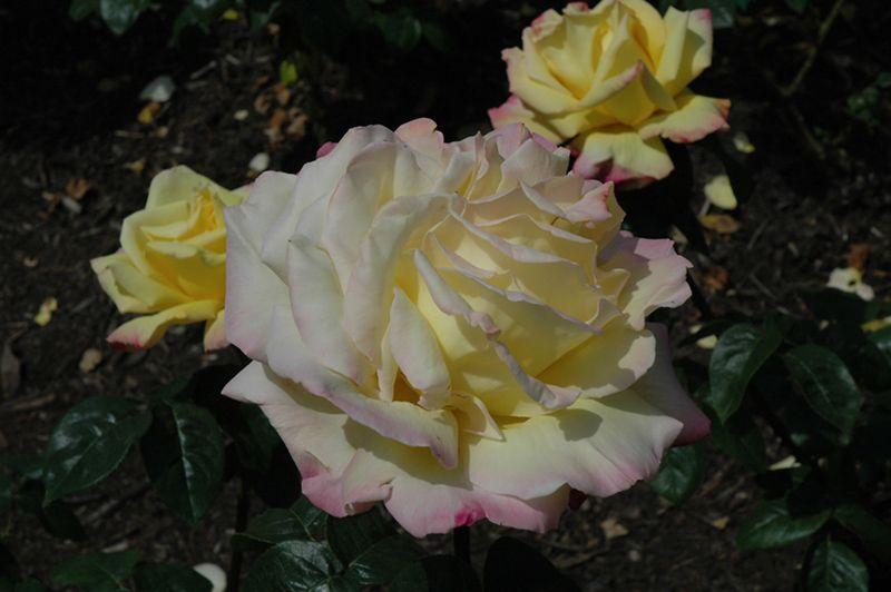 Peace Rose (Rosa U0027Peaceu0027) At TLC Garden Centers