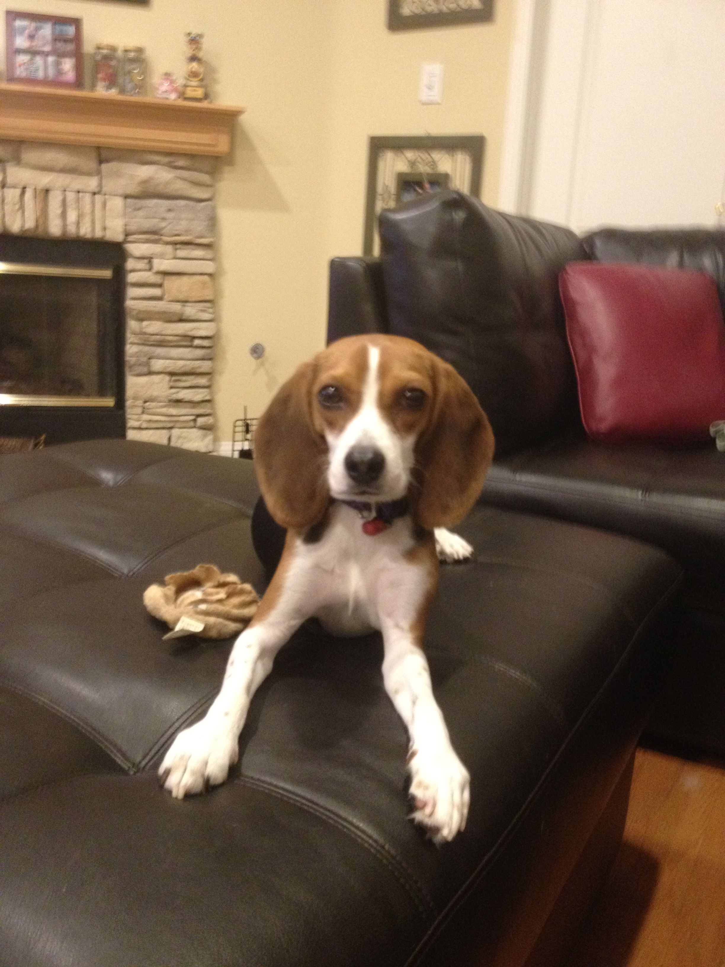 Pocket Beagle Puppies For Sale In Nh Ideas