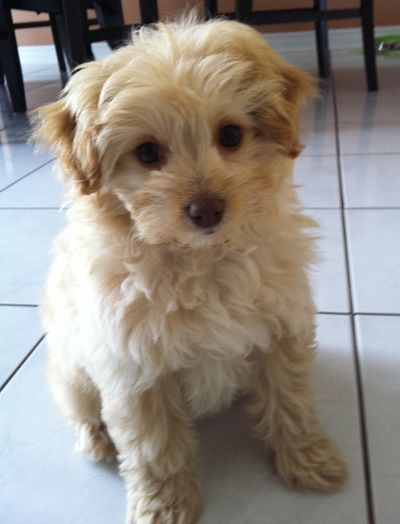 i want a pom-poo...but with more of a Pom face. MaltiPoo ...