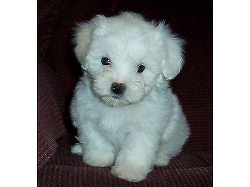 Malti Poo Puppies Beautiful White Powder Puffs Call For