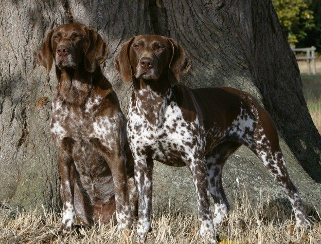 German Shorthaired Pointer The German Shorthaired Pointer Is A Breed That Was Developed To Be A Fa German Dog Breeds Dogs German Shorthaired Pointer