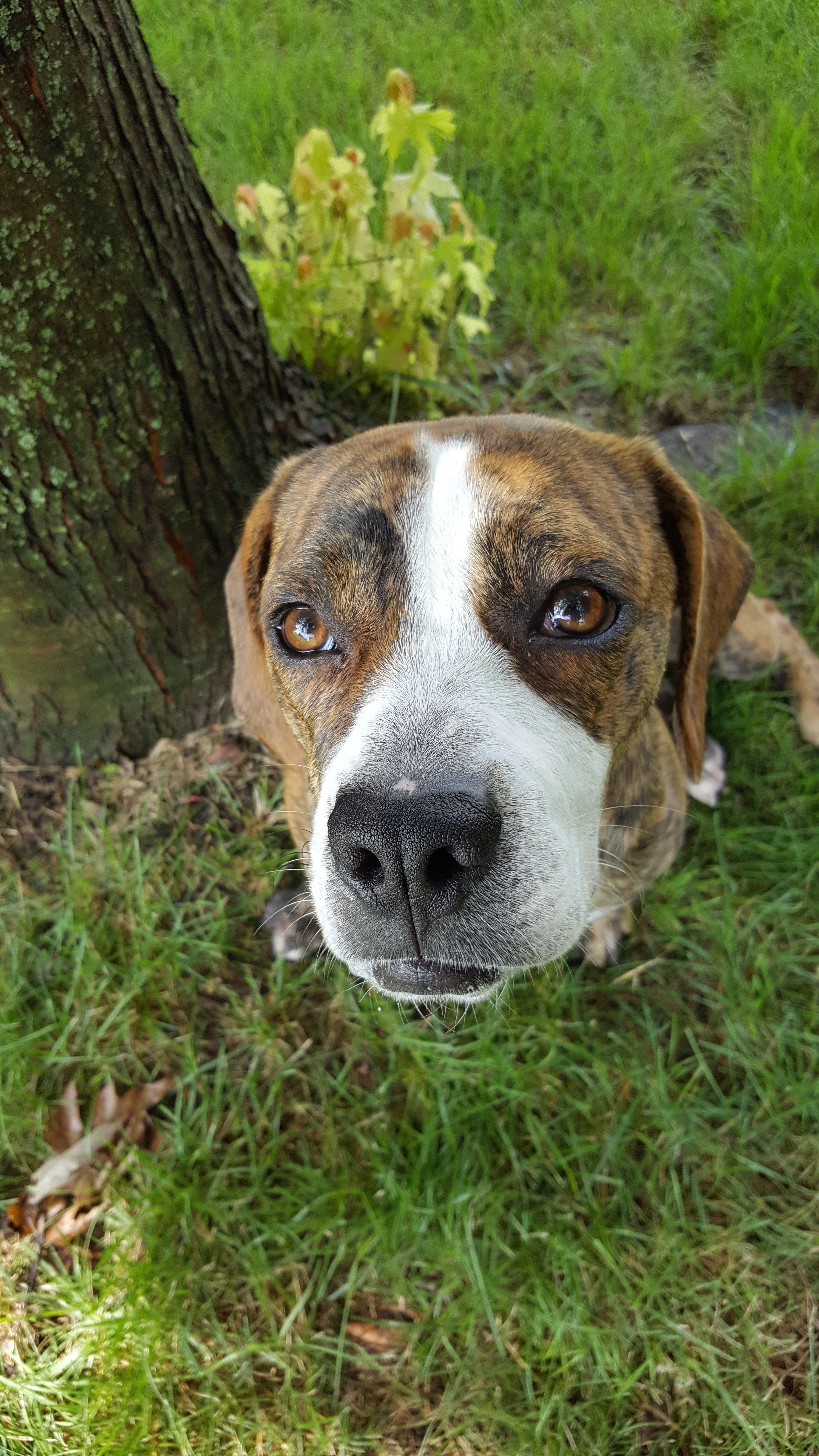 Beabull dog for Adoption in Brooklyn Center, MN. ADN