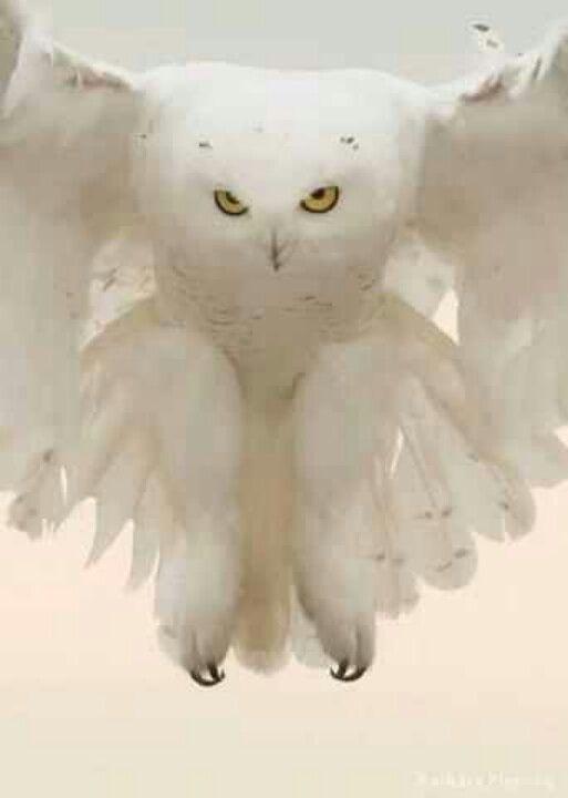 Snow Owl - beautiful!