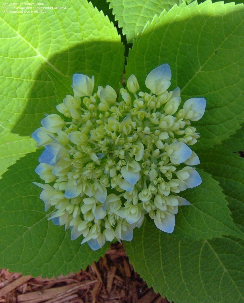 First Buds Bring An Anticipation Of An Abundance Of Blooms French Hydrangea Bigleaf Hydrangea Hydrangea Macrophylla
