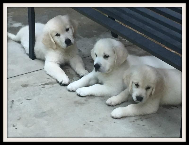 English Cream Golden Retriever Puppies Price Cuteanimals In 2020 English Golden Retriever Puppy Cute Puppies Images Best Dog Costumes