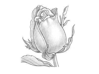 Wenn Sie Eine Schöne Rose Mit Bleistift Einfach Zeichnen