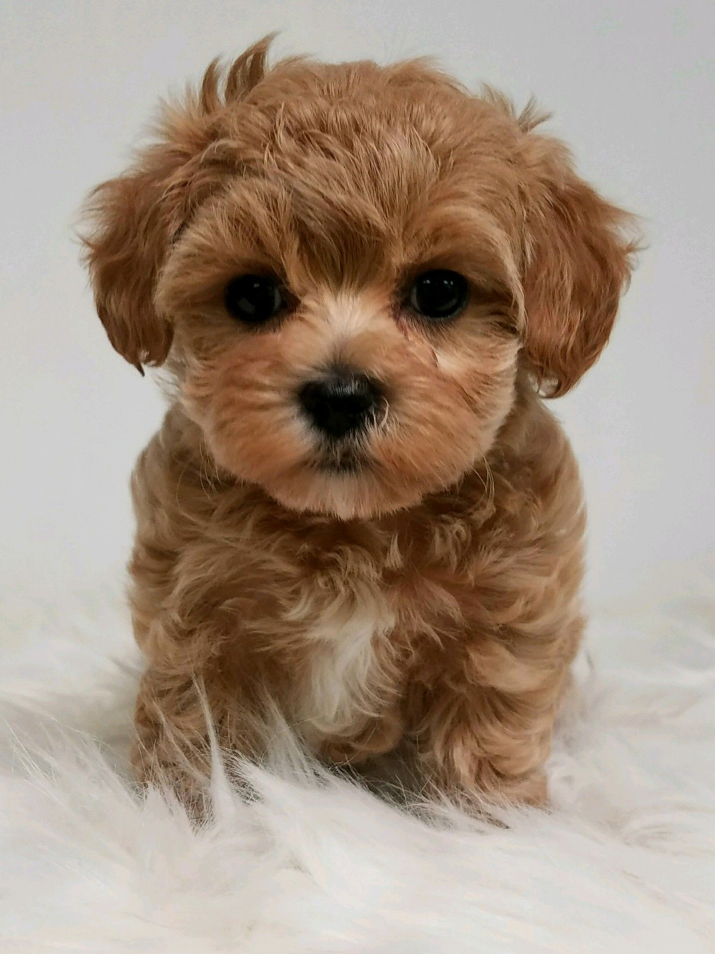 yorkshire terrier and shih tzu mix designer and mix puppies morkies maltipoos red 8341