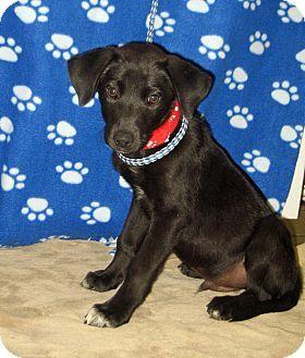 Allentown Nj Labrador Retriever Mix Meet Pedro A Puppy For Adoption Http Www Adoptap Labrador Retriever Mix Puppy Adoption Labrador Retriever