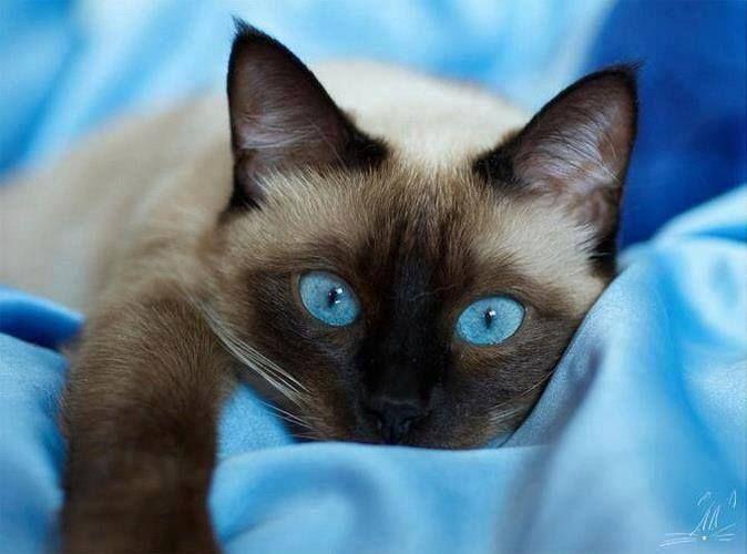 Une Tres Belle Photo Les Grands Yeux Bleu De Ce Chat Siamois Sont