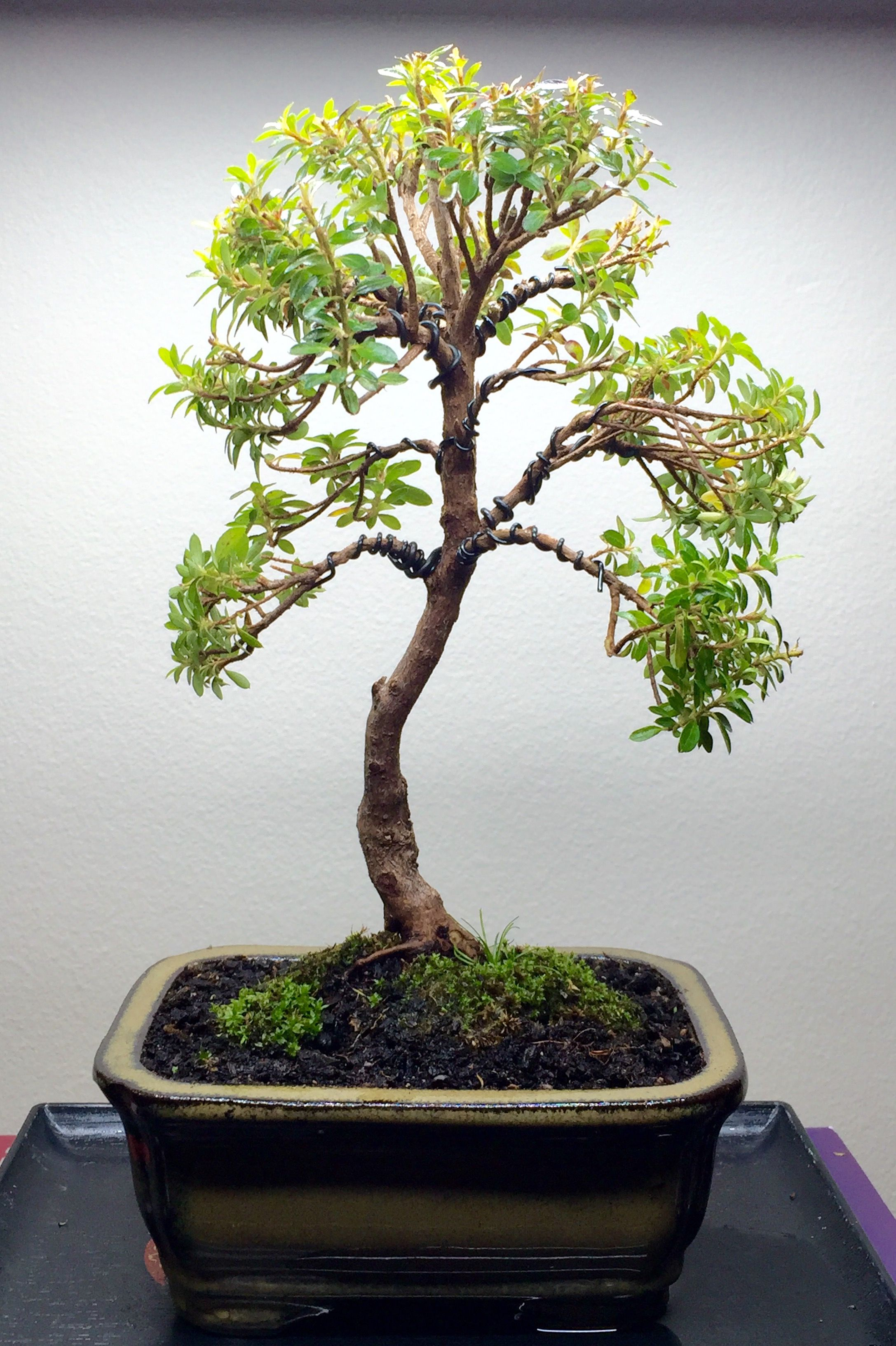 Azalea First Pruning Wiring And Re Potting Approximately 150mm Juniper Bonsai Tree High 03 06 2016 Gardening
