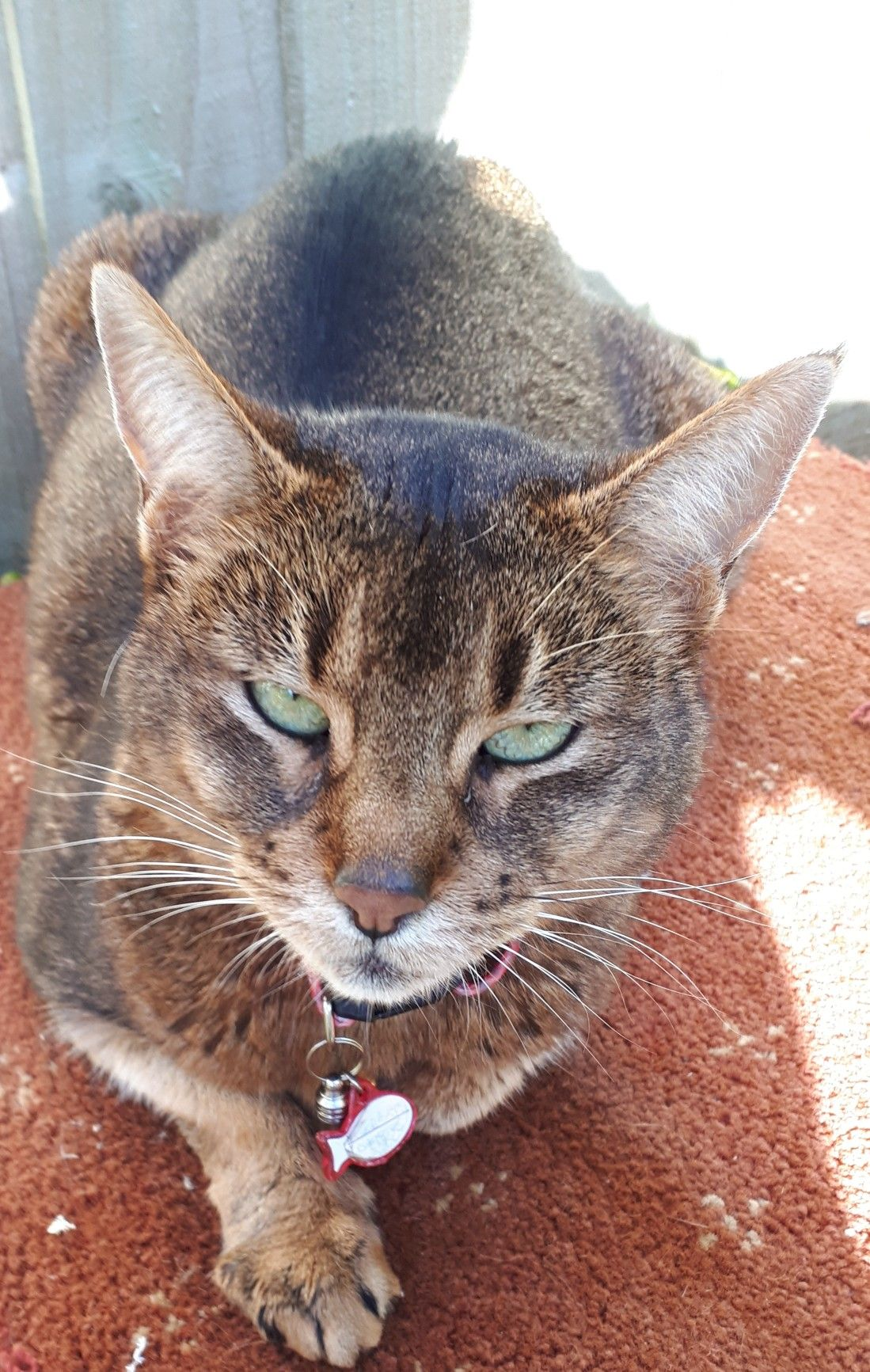 My abyssinian nella 10 years old and so gentle