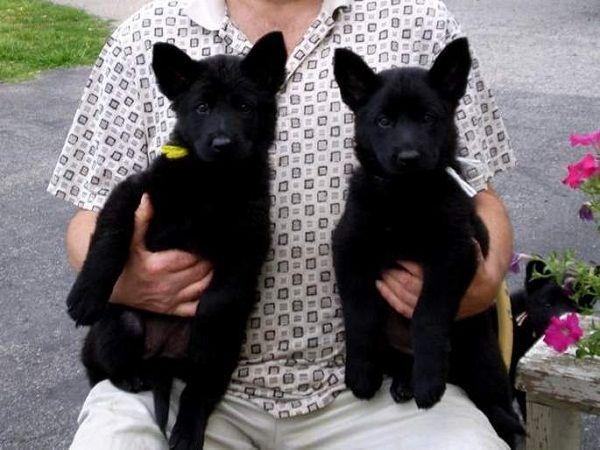 Black German Shepherd Puppies For Sale In India Zoe Fans Blog