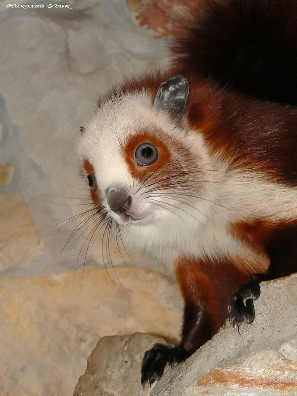 Petaurista alborufus castaneus (Red-and-white giant flying squirell with  blue eyes) 60bf711f6