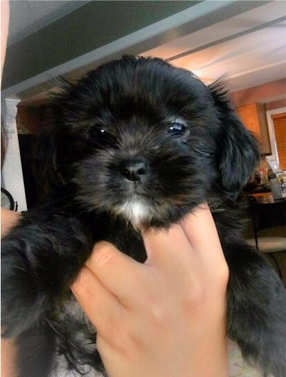 Super Cute 4 Male Shih Tzu Yorkie Mix Shorkie Tzu Puppies Left From Our Litter 3 Black And 1 White Black They Yorkie Shih Tzu Mix Shorkie Puppies Shih Tzu