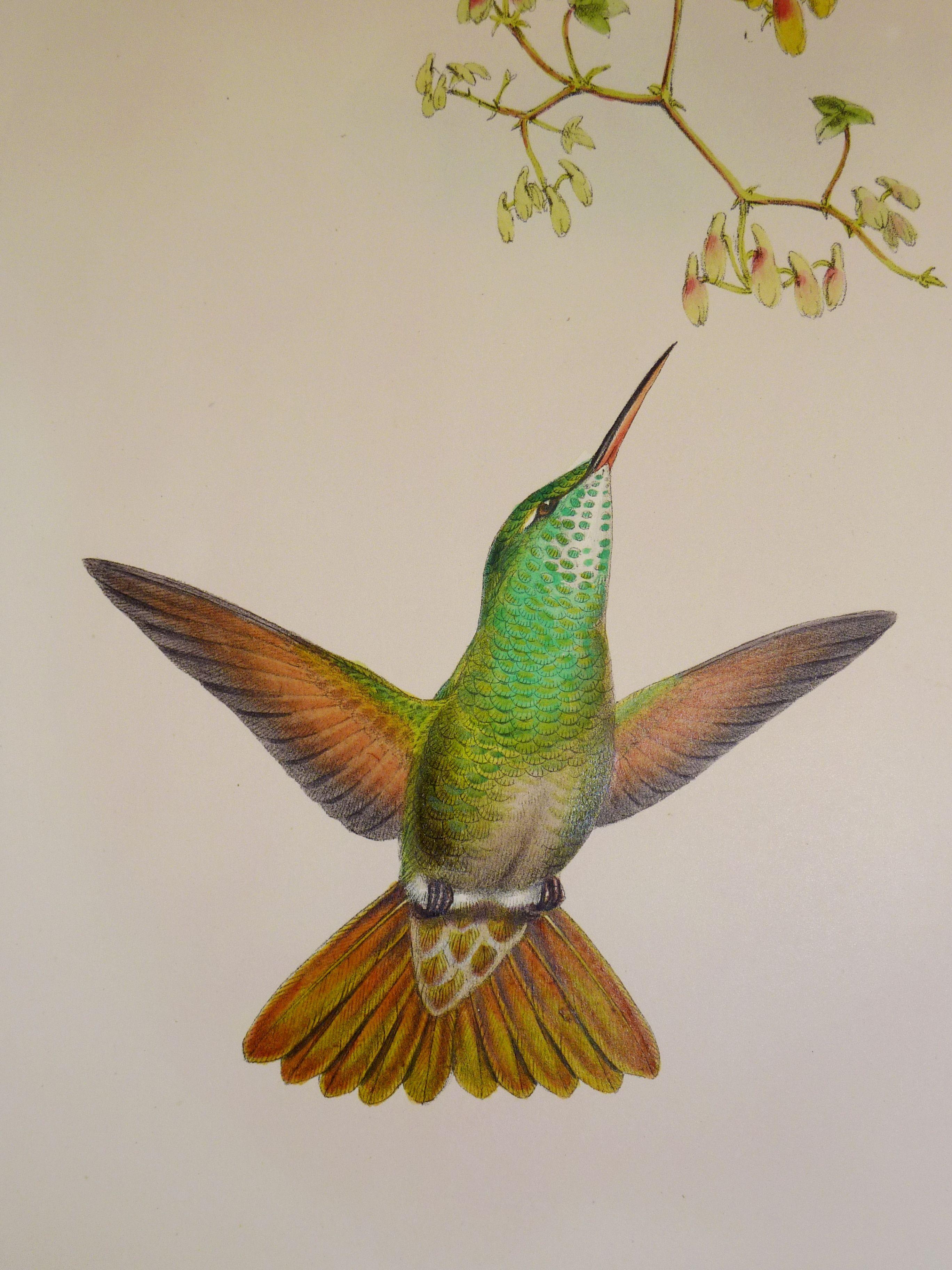 john goulds hummingbirds p1180522