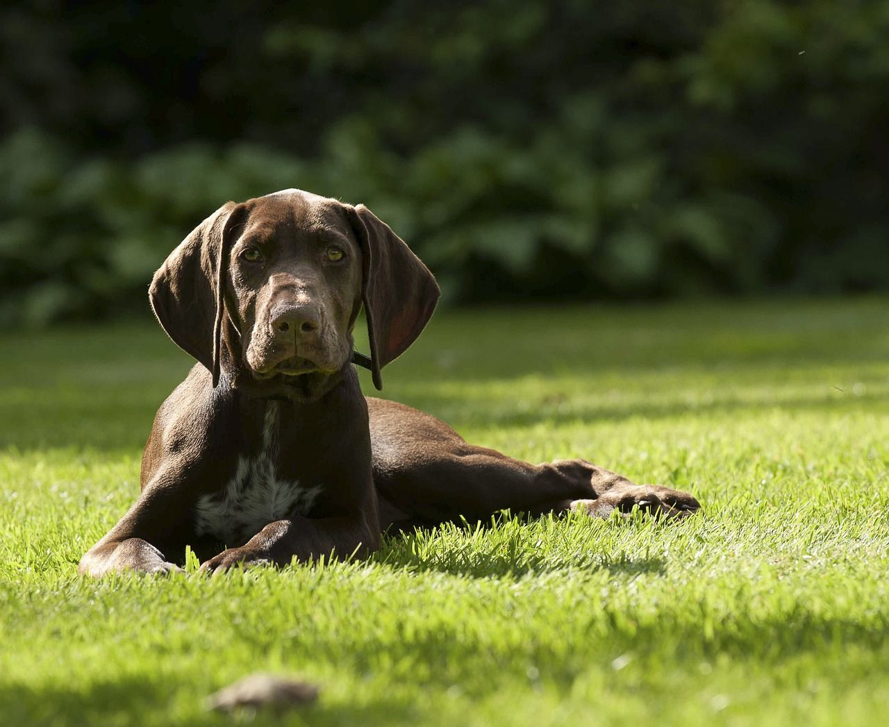 Best Dog Bed For A German Shorthaired Pointer Top Beds