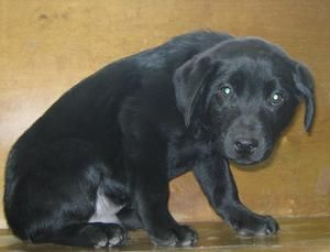 Kumo Is An Adoptable Labrador Retriever Dog In Summersville Wv Kumo Is A Nine Week Old Male Lab Mix He Was Brought In Labrador Retriever Retriever Labrador