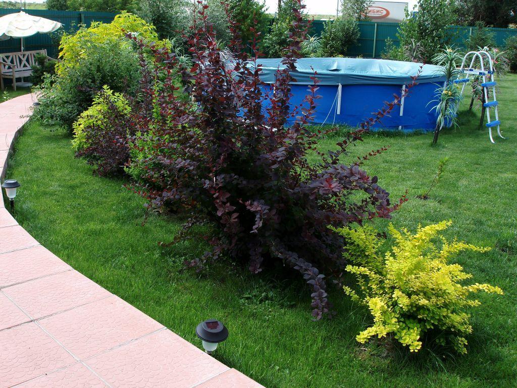 самсунгов барбарис с какими растениями садить фото это
