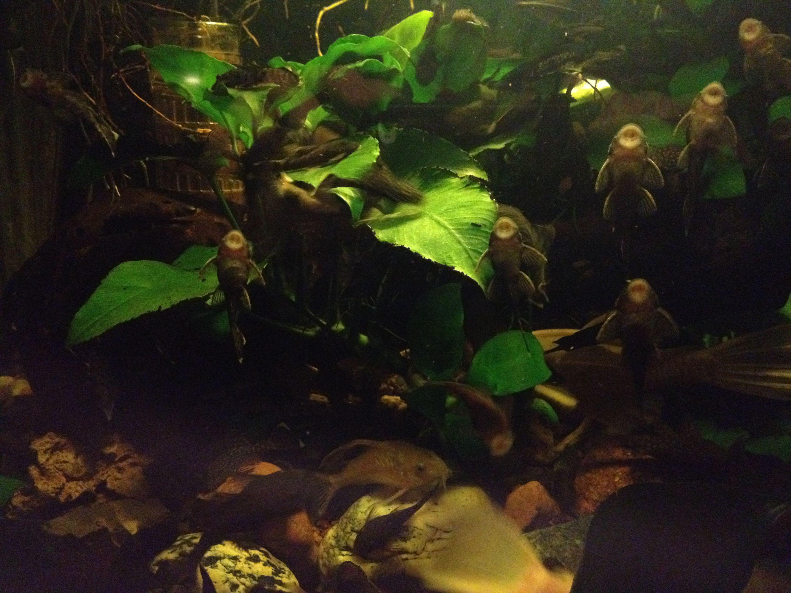 Herbivorous freshwater aquarium fish - Herbivorous Freshwater Aquarium Fish
