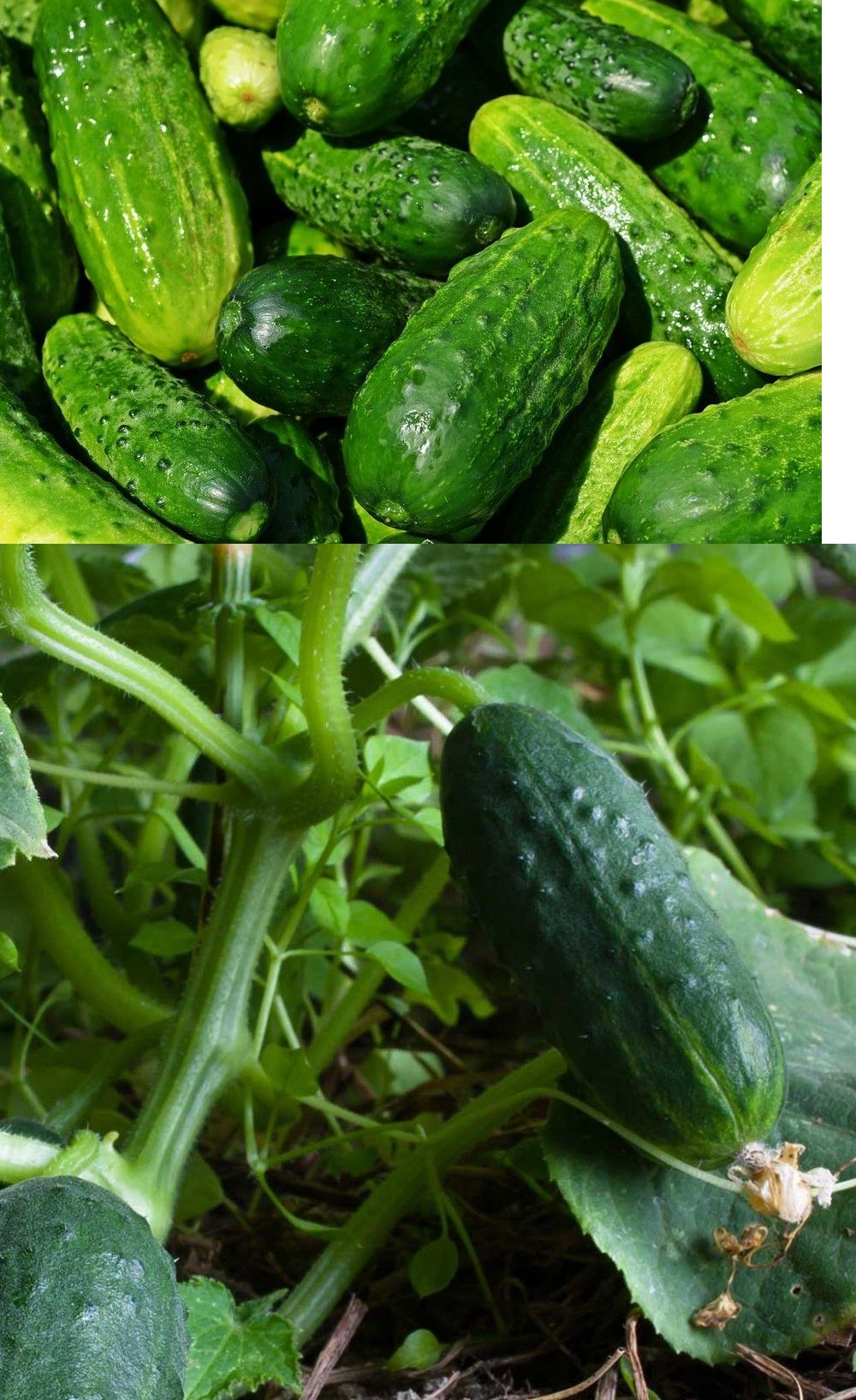 Petite cucumber seed 11