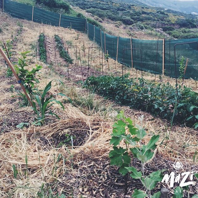 An example of how we can intercrop our agroforestry