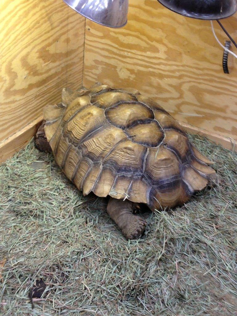 Huge Tortoise At My Local Pet Shop Tortoise Pets Tortoise As Pets