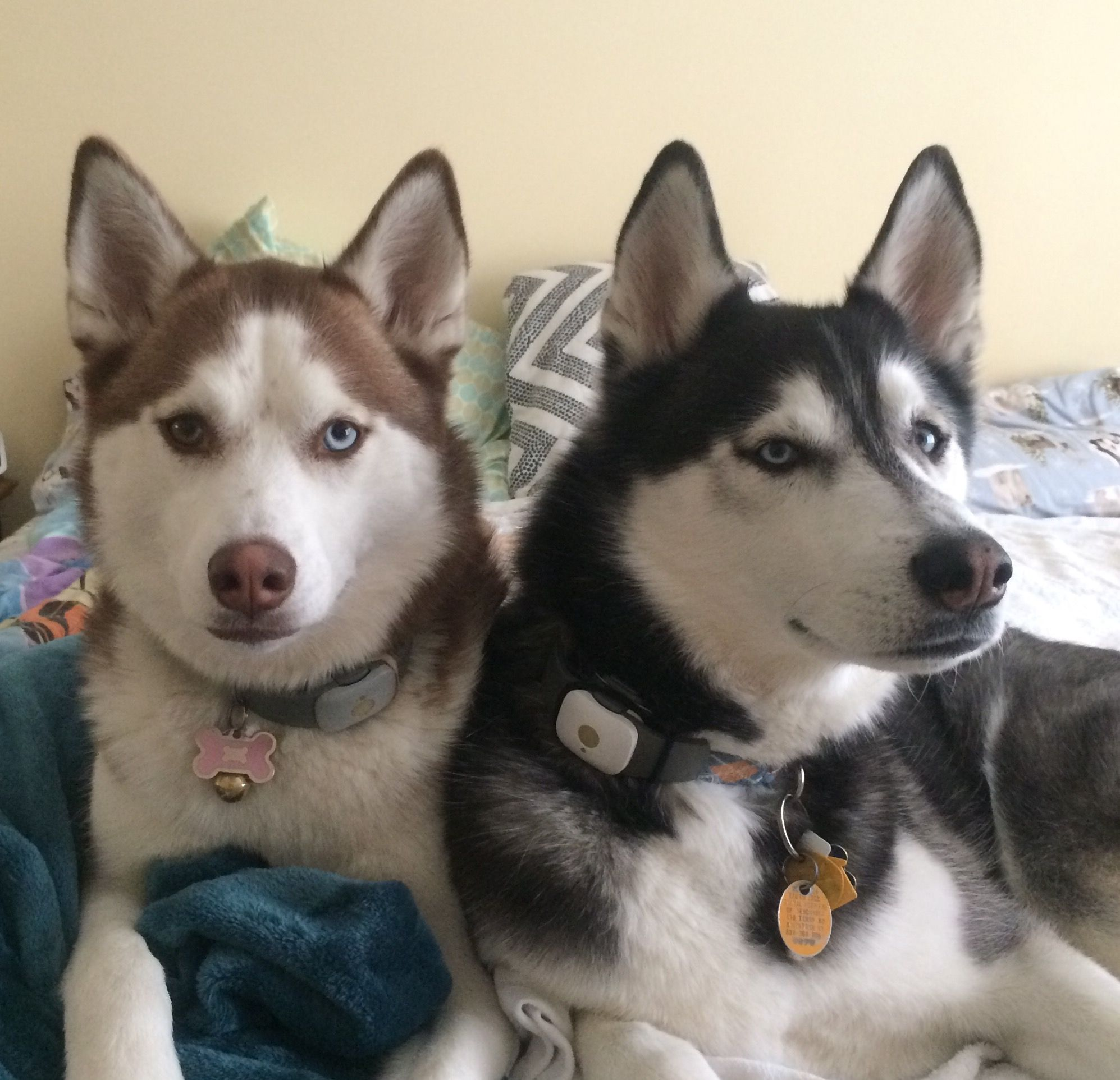 Beau and Tundra (With images) Siberian husky, Fancy dog beds