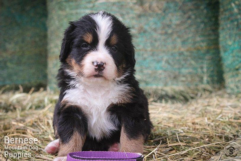 Purple Collar Female Bernese Mountain Dog Puppy Mountain Dogs