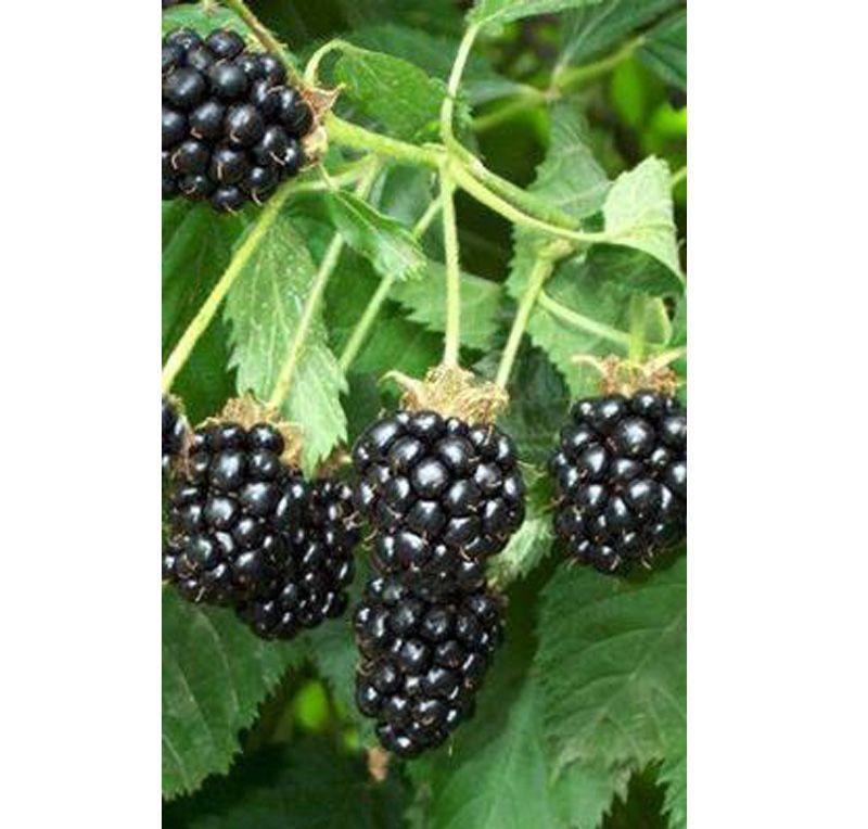 Blackberry Fruticosa Oregon Thornless Online From Jacksons Nurseries