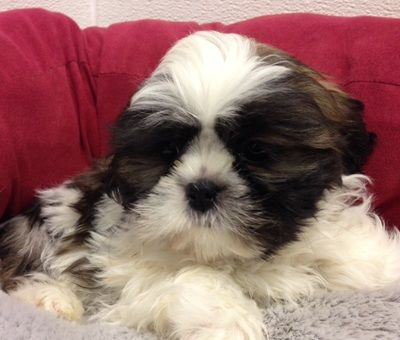 Puppies For Sale In Michigan 23691 Shih Tzu Male Dob 12514 Sire