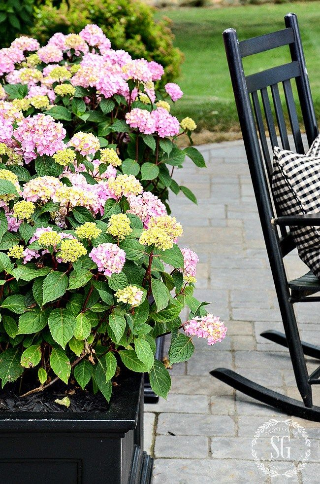 Hydrangeas In Planters And A Self Watering Stake Diy Stonegable Planting Hydrangeas Hydrangea Potted Summer Planter